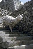 Alpaca Descending Inca Stairway