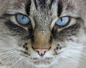 stock photo of blue eyes  - close up of a house cat with blue eyes - JPG