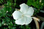 White Malvaceae Hibiscus Flower