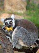 Banana Lemur