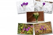 Collage Of Purple Crocus. Purple Crocus Bloomed In The Spring Forest In The Snow. Collages Of Purple poster