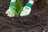 womans hands planting chives in garden in early spring - healthy lifestyle - gardening poster