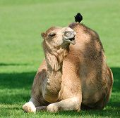 Camel With Bird