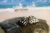 caribbean black shells -  West Indian top shell - on a sandy beach with sea waves poster