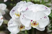 Постер, плакат: Orchid Flower In Orchid Garden At Winter Or Spring Day Orchid Flower For Postcard Beauty Agricultur