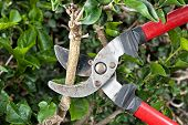 stock photo of prunes  - Tree pruning sheers getting ready to cut into a branch during gardening - JPG