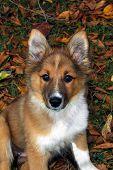Australian Shephard Pup