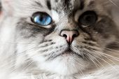 Siberian Neva Masquerade Close Up Cat Face. Main Focus On Nose. Cat Deep Blue Eye Blurry, Noisy And  poster