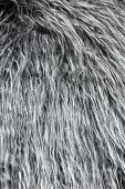 Silver Back Gorilla Hair Background
