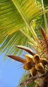 Coconut tree. Tropics. Fruits of coconut. Coconut tree on the sky background poster