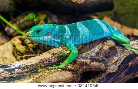 poster of Beautiful Portrait Of A Male Banded Fiji Iguana, Tropical Lizard From The Fijian Islands, Endangered