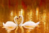 A Loving Couple Of White Swans With Heart Shaped Necks. Two White Swans On The Lake Surface In Autum poster