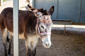 Unhappy Donkey Or Sleepy Or Hungry In A Zoo Park . poster