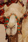 image of hump  - Camel is an ungulate within the genus Camelus - JPG