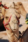 Kamel, Petra, Jordanien