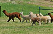 foto of alpaca  - Alpaca is a domesticated species of South American camelid - JPG