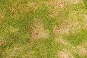 Grass Texture, Grass Background. Patchy Grass, Lawn In Bad Condition And Need Maintaining, Pests And poster