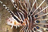 Spotfin Lionfish Detail