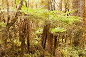 Katote Fern Tree in NZ sub-tropical rainforest
