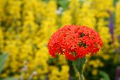 pic of maltese-cross  - A heirloom perennial the Maltese Cross and also know as the Jerusalem Cross is an eye catching flower in northern gardens. ** Note: Slight blurriness, best at smaller sizes - JPG
