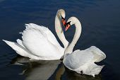 picture of mating animal  - White beautiful mute swans - JPG