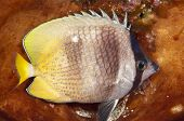 Blacklip Butterflyfish by Sponge