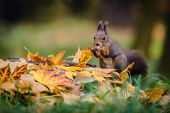 Hungry Eurasian Red Squirrel Sitting On A Tree Stump Covered With Colorful Leaves Holding Hazelnut I poster