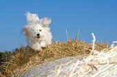 Dog racing finished on straw bales