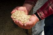 Oats In Farmers Hands