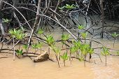 Mangrove tree sprouts