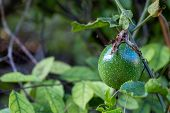 A Passion Fruit On The Vine. Close Up Of Passion Fruit On The Vine, Selective Focus poster