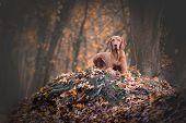 Hungarian Hound Vizsla Dog In Autumn Forrest poster