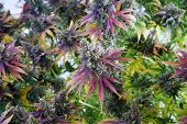 Marijuana Plant. Cannabis Sativa with full female flower in bloom. Hydroponically Grown Cannabis Pla poster