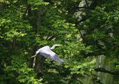 Grey heron flying along a canal in spring
