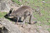 This Is A Side View Of A Joey Western Grey Kangaroo poster