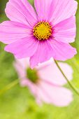 Close Up Of Pink Flowers Nature Background. Nature Background Of Pink Flowers. Green Nature Macro Ba poster