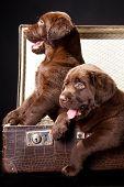 Dois filhotes de Labrador Retriever em mala Vintage