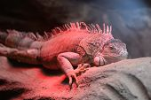 Portrait Of An Iguana In Captivity Under A Red Light poster