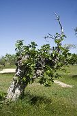 Ficus carica, fig tree landscape