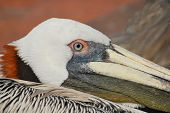 Closeup of Brown Pelican, Florida