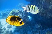 Tropical Fish In The Ocean. Raccoon Butterflyfish And Scissortail Sergeant Fishes. Colorful Beauty S poster