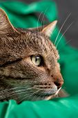 Cat Face In Profile On A Green Background. Gray Tabby Cat. Cat Food Cover. poster