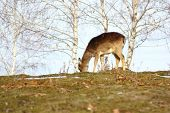 Cervatillo de ciervos pastando