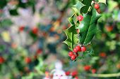 Ilex Aquifolium Red Berries
