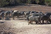 Italiana raça de suínos