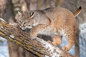 Bobcat (Lynx rufus) Crouches On Branch