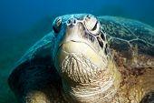 Male Green Turtle
