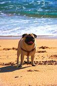 Pug Dog In A Beach