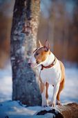 stock photo of spotted dog  - English bull terrier - JPG