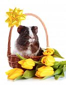 stock photo of guinea  - Guinea pig in a basket - JPG